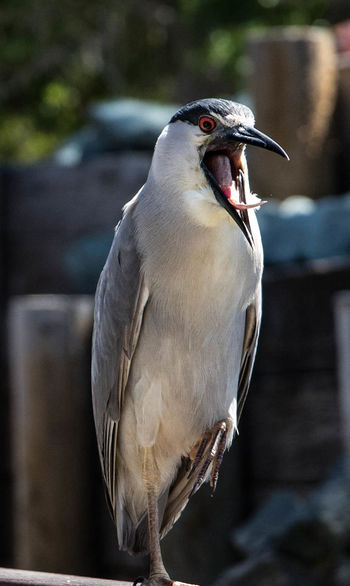 Heron Bird Standing On One Leg Animal Themes Animal Wildlife Animals In The Wild Beak Bird Close-up Day Focus On Foreground Nature No People One Animal Open Mouthed Outdoors Perching