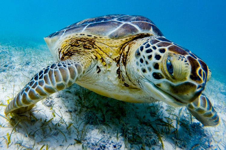 Close-Up Of Green Turtle Swimming In Sea