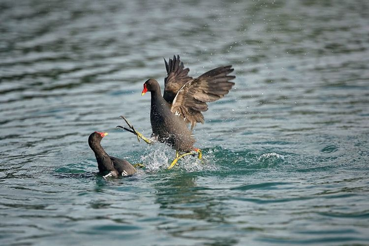 Moorhens Fighting In Lake