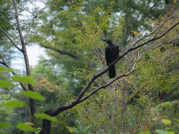 Raven in Tokyo. 2017 Dark Japan Raven Tokyo Animal Themes Animal Wildlife Animals In The Wild Beauty In Nature Bird Black Color Branch Crow Day Forest Full Length Low Angle View Nature No People One Animal Outdoors Perching Raven - Bird Tree Wild