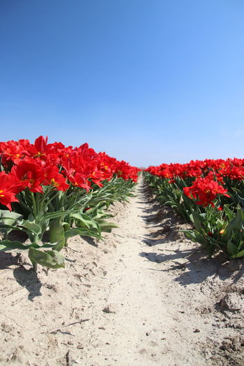 Tulip flower fields illuminated by the sunlight in the polder of Goeree Overflakkee in the Netherlands Flower Field The Netherlands Tulips Tulip Red Beauty In Nature Flower Flowering Plant Freshness Growth Nature No People Plant Red Flower Row Sun Illumination Tulip