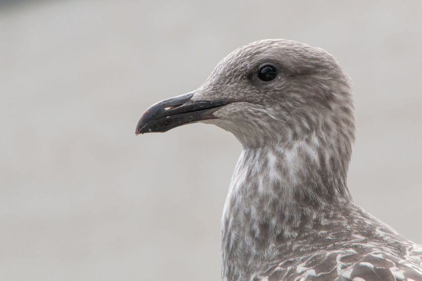 One Animal Animal Themes Bird Animal Animal Wildlife Animals In The Wild Vertebrate Close-up Animal Body Part No People Focus On Foreground Animal Head  Nature Day Beak Side View Looking Looking Away Gray Animal Eye Animal Neck