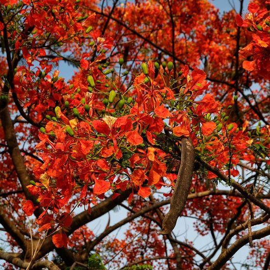 หางนกยูงบานสะพรั่ง ที่เมืองกาญจน์ Fujixm1 Fujifilm_xseries Fujifilm Flowerstagram Flower Adayinthailand Thailand_allshots Nofilter Kanchanaburi Picoftheday Bestoftheday Best  Photooftheday Igoftheday Instagood Instadaily Nature_lovers Summer Hotweather