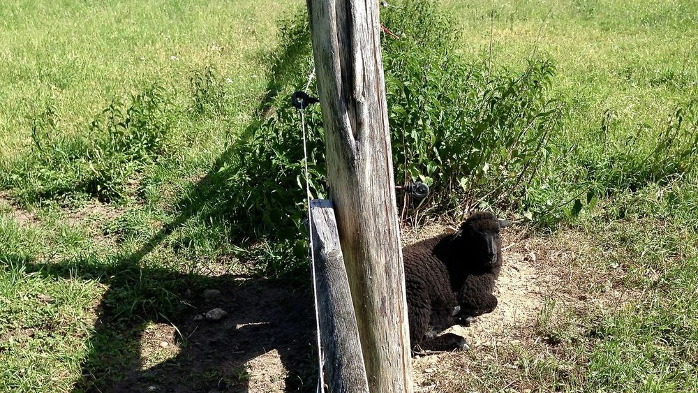 Animal Animal Themes Animals In The Wild Berliner Ansichten Colors Domestic Animals Farm Field Grass Green Color Greenery Growth Health Light Light And Shadow Local Food Looking At Camera Mammal Nature One Animal Outdoors Plant Relax Sheep Wooden Post