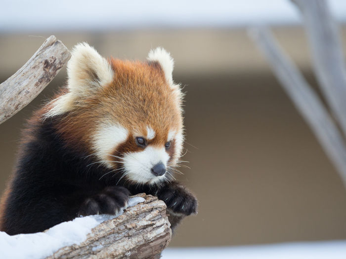 Ailurus Fulgens Animal Animal Themes Animal Wildlife Animals In The Wild Close-up Day Lesser Panda Mammal Nature No People One Animal Outdoors Red Panda Snow Tree Zoo