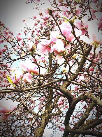 Magnolia 🌸 Tree Growth Nature Flower Beauty In Nature Springtime Pink Color Blossom Freshness Sky Outdoors Day Magnolia
