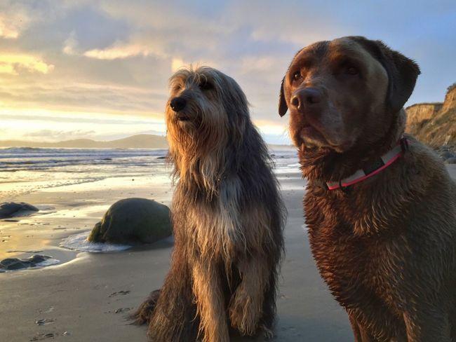 Animal Themes Dog Sea Beach Sky Pets Domestic Animals Sand Dogs Of EyeEm No People Outdoors Chocolate Lab Huntaway Beardy Huntaway