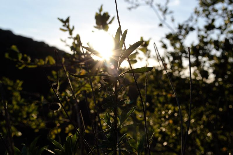 Plant Growth Sky Beauty In Nature Sunlight Focus On Foreground Nature Tranquility No People Sun Sunset Tranquil Scene Lens Flare Sunbeam Close-up Day Land Field Outdoors