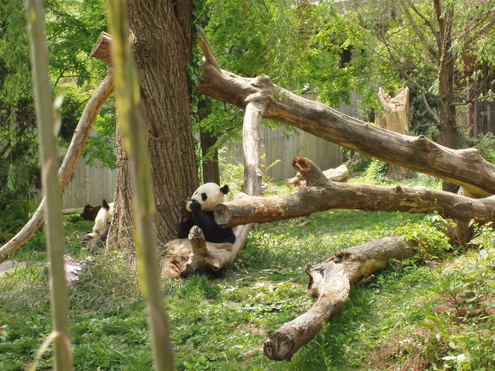 Pandas resting near by tree on grassy field at zoo