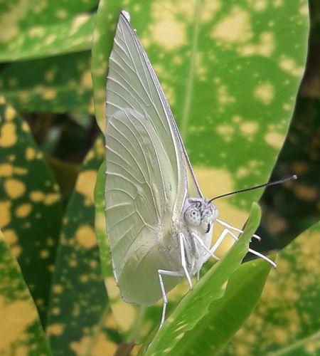 Batterfly on