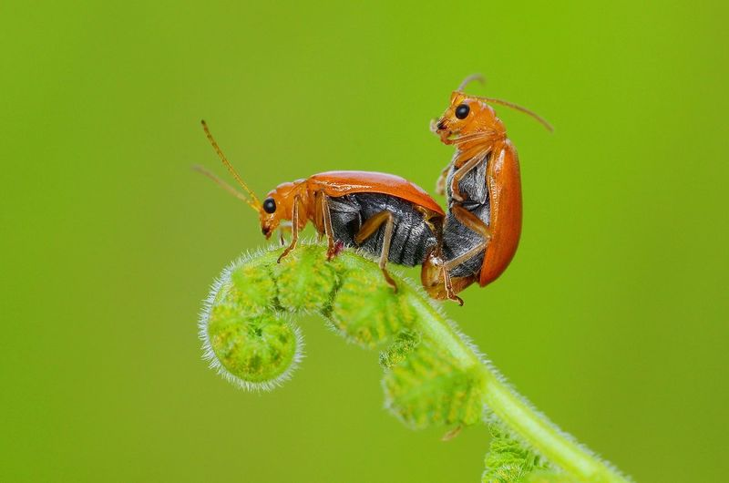 Bugs mating on fern