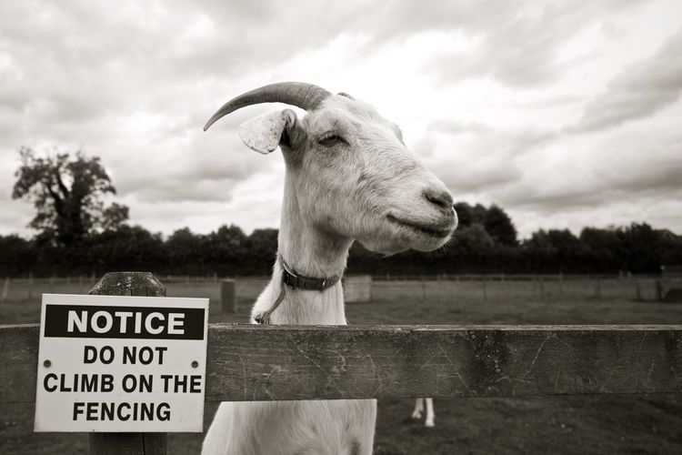 Goat disobeying the signpost! Farm Goat Animal Themes Close-up Cute Day Mammal Nature No People One Animal Outdoors Sky Text
