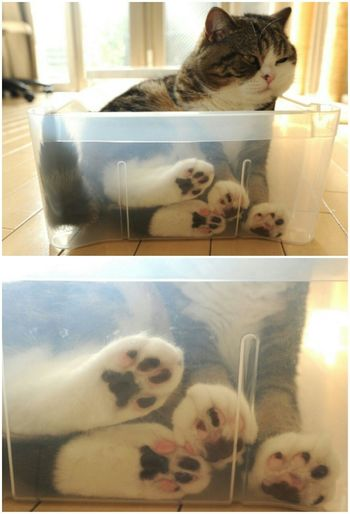 Cat Scottish Fold Kitten Maru (Cat In The Box) Adorable