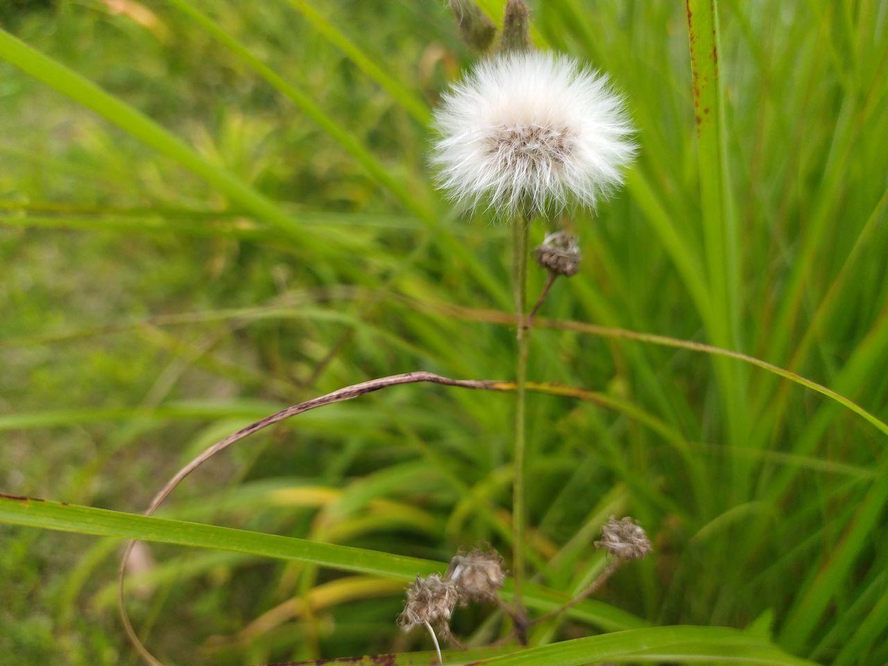 CLOSE-UP OF DANDELION FLOWER GROWING ON FIELD