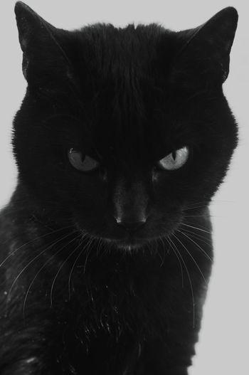 Moments Black And White Blackandwhite Photography 50mm 1.4 Black & White BLackCat Cat Cat Lovers Blackcatlove Myblackcat FaceShot Portrait Photography
