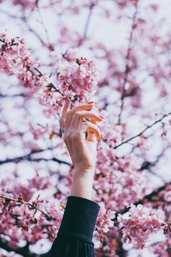 Low angle view of hand holding cherry blossom tree
