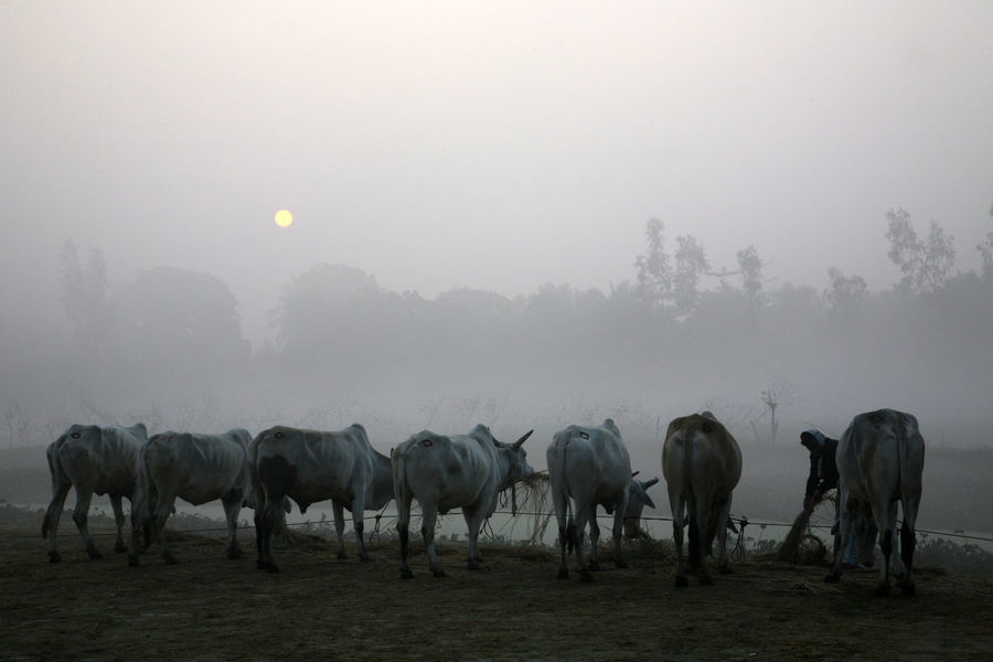 Misty morning in the Bengal countryside Kumrokhali, India Cow Domestic Animals Domestic Cattle Field Grazing Herd India Kumrokhali Mammal Misty Morning Nature Rural Scene Village West Bengal