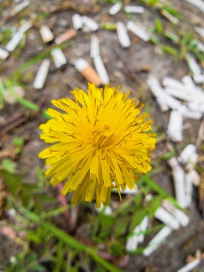 Yellow Flower Flowering Plant Plant Freshness Fragility Beauty In Nature Growth Inflorescence Flower Head Nature Vulnerability  Outdoors Focus On Foreground Dandelion Petal Field Close-up Land No People