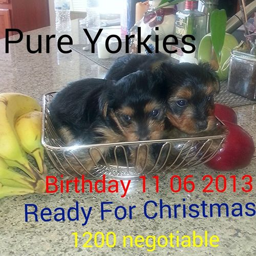 Ready for the holidays. Pure breed both parents here. Papers. born 11 06 2013 Puppies Today Forsale Check This OutPure