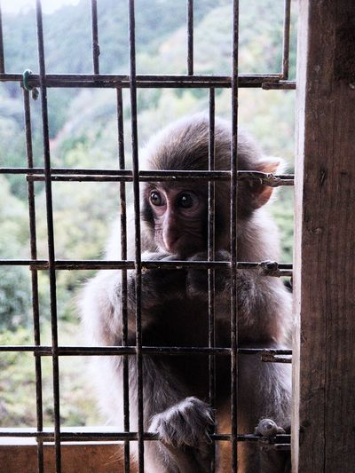 Monkey feeding at Iwatayama monkey park Macaque Iwatayama Monkey Park Monkey Arashiyama Japan Kyoto One Animal Mammal Animal Themes Fence Portrait Cage Animal No People