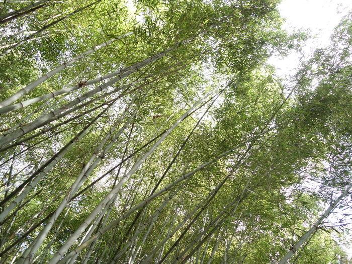 この時期に青々とした竹藪。立派ですね。 竹藪 青々 Low Angle View Tree Growth Nature Green Color Beauty In Nature Full Frame Bamboo Grove Bamboo - Plant Forest