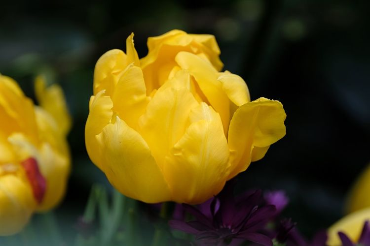Beauty In Nature Blooming Close-up Day Flower Flower Head Fragility Freshness Gefüllt Gelbe Tulpenblüte Growth Nature No People Outdoors Petal Plant Rose - Flower Springtime Yellow