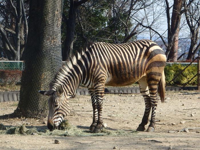 Animal Themes Animal One Animal Zoo No People Zebra Outdoors Land EyeEmNewHere