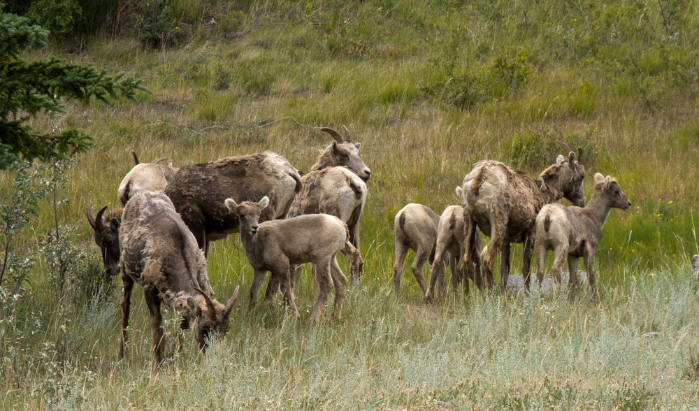 Animal Themes Animal Wildlife Animals In The Wild Day Field Grass Grazing Landscape Large Group Of Animals Mammal Nature No People Outdoors Safari Animals Wild Sheep