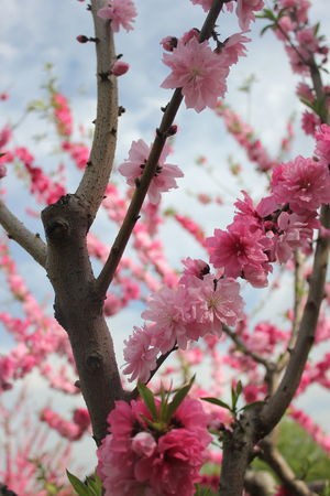 Beauty In Nature Blooming Blossom Branch Close-up Flowers On Tree Branch Against Sky Focus On Foreground Fragility Freshness Growth Low Angle View Nature No People Outdoors Pink Pink Color Pink Flowers Pink Flowers In Bloom Sky Spring In China Springtime Srping Tree Twig Investing In Quality Of Life A New Perspective On Life