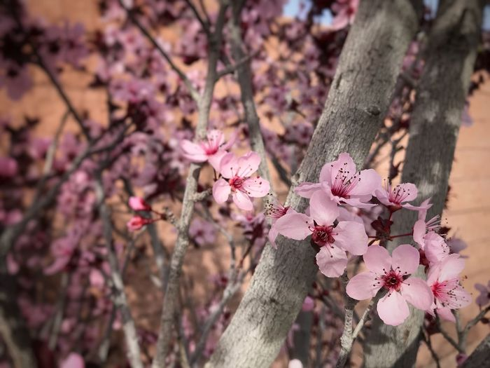 Close up of plum blossoms and tree branches Plum Blossoms Flower Tree Pink Color Branch Blossom Springtime Beauty In Nature Outdoors Day Petal Close-up Blooming Flower Head Nature No People Freshness Growth Fragility