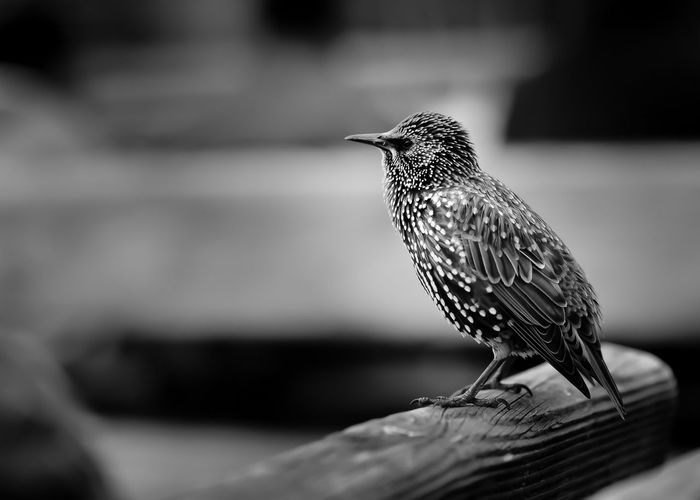 Close-up of starling perching on wood