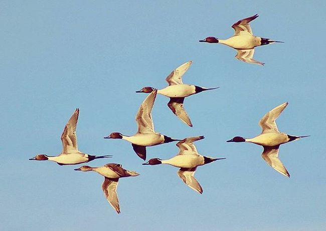 Photo of the day: Evening Pintails Pintail SoDak Luckylady