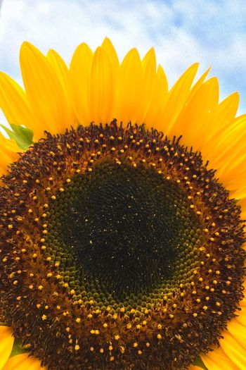 Flower Sunflower Nature Petal Beauty In Nature Yellow Growth Fragility No People Freshness Close-up Plant Sky Flower Head Outdoors Blooming Day