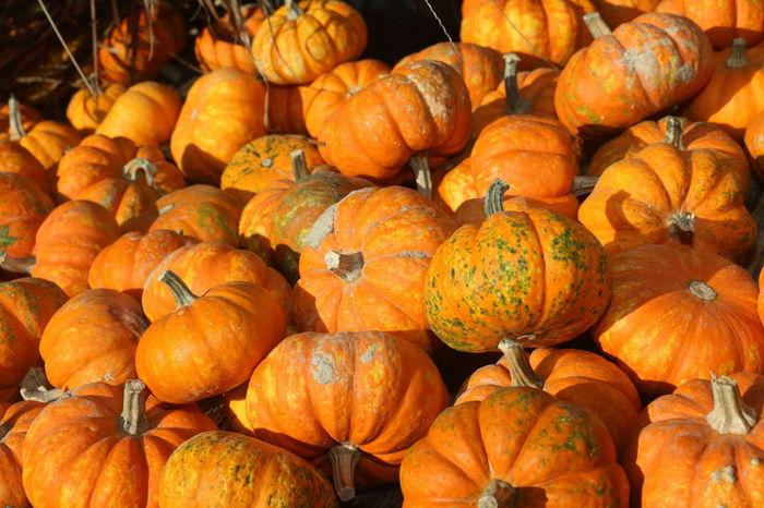 Orange Color Halloween Pumpkin Squash - Vegetable Gourd Fruit Autumn Agriculture Market Vegetable Harvesting