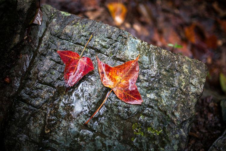 Tree Leaf Maple Leaf Autumn Forest Fly Agaric Mushroom Change Maple Close-up