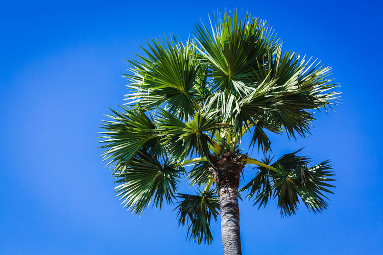Palm tree. Tree Palm Tree Sky Tropical Climate Blue Plant Leaf Clear Sky Low Angle View Nature No People Growth Day Plant Part Outdoors Beauty In Nature Green Color Tranquility Tropical Tree Palm Leaf Coconut Palm Tree Business Tree
