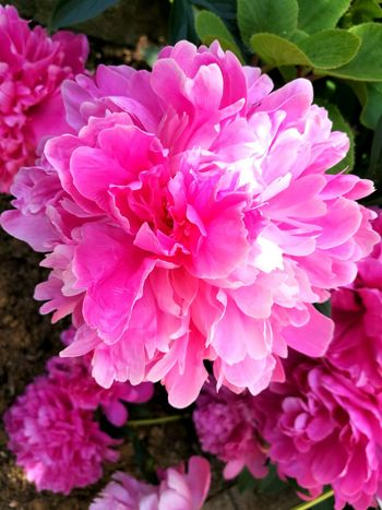 Flower Petal Beauty In Nature Pink Color Plant Nature Fragility Growth No People Wild Rose Outdoors Day Peony  Flower Head Close-up Freshness