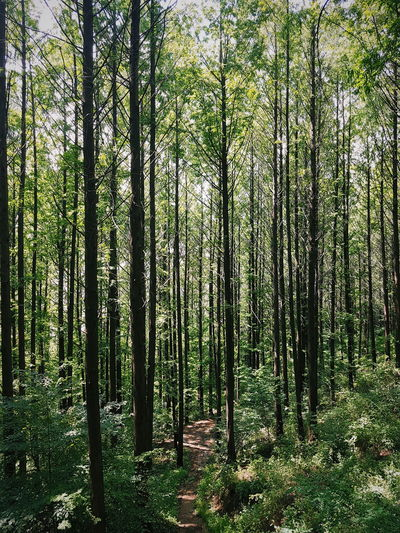 Woods Nature Trees Tall Trees Forest Seoul Ansan Mountains Travel Beauty In Nature Lush Green City Urban Forest Forestry ASIA Korea Korean Park Pathway Path Summer ansan park in seoul. tall trees line up the forest. Hiking Hike