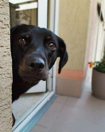 Hello 😁 Dog Dogeyes Dogmodel Doginstagram Instadog Photodog Dogphoto Doginsta Pies Piesinst Bestdogmodel Majapies Maja Dogsofinstagram Dogstagram Blackdogsofig Ig_dogphot Doglife Doglifestyle Ig_dogphot Cutedog Dog_of_instagram