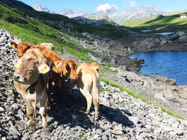 Animal Themes Animal Mammal Domestic Animals Vertebrate Livestock Group Of Animals Domestic Nature Mountain No People Land Landscape Beauty In Nature Cow Outdoors