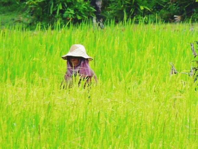 Real People Farmer Growth Crop  Field Agriculture Farm Green Color Cereal Plant Nature Rural Scene Working Plant Cambodia Rice Paddy Rice - Cereal Plant Women Landscape Beauty In Nature One Person