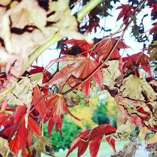 Dry leaves. Autumn Leaf Low Angle View Outdoors Tree Nature Change Day No People Branch Beauty In Nature Multi Colored Growth Close-up Sky Fragility