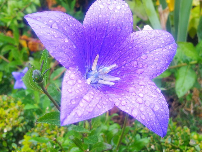 Awesomepic Beauty In Nature Blooming Close-up Coolstuff Day Drop Flower Flower Head Focus On Foreground Fragility Freshness Growth Leaf Nature No People Outdoors Petal Petunia Plant Prettyflower Prettyflowers Water Wet
