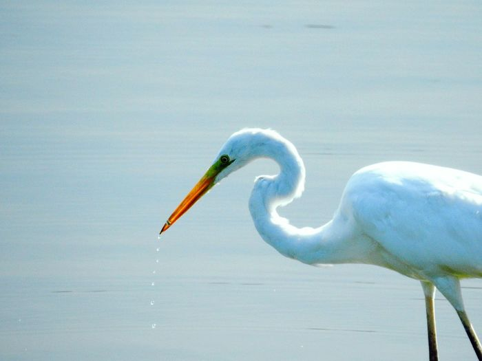 One Animal Animal Wildlife Animals In The Wild Bird Animal Eating Side View Water Food No People Animal Themes Nature Outdoors Day Looking At Camera Animals In The Wild Portrait Beauty In Nature Fish Fishing Egret Waterdrops Waterdrop