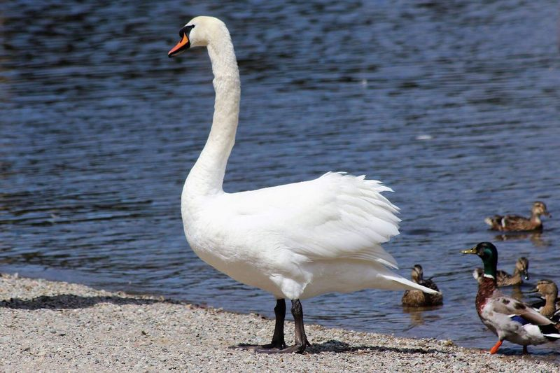 Animals In The Wild Bird Animal Themes Animal Wildlife Water Lake White Color Swan Nature Water Bird Day No People Outdoors Beak Beauty In Nature Pelican Close-up Loch Lomond Shores Nature