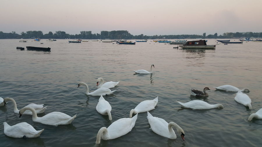 Eyem Nature Lover Riverview Tranquil Scene Swans Boats⛵️ Sky And Tree Nature Autumn Colors Zemun Serbia,Danubius Lovely River No People Nofilternoedit