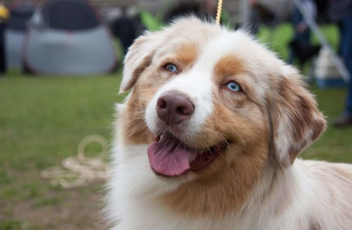 Dog Pets Domestic Animals One Animal Animal Mammal Puppy Portrait Cute Animal Themes Outdoors Aussie Shepherd Sticking Out Tongue Champion Purebred Dog Kennel Dog Kennelclub  Close-up