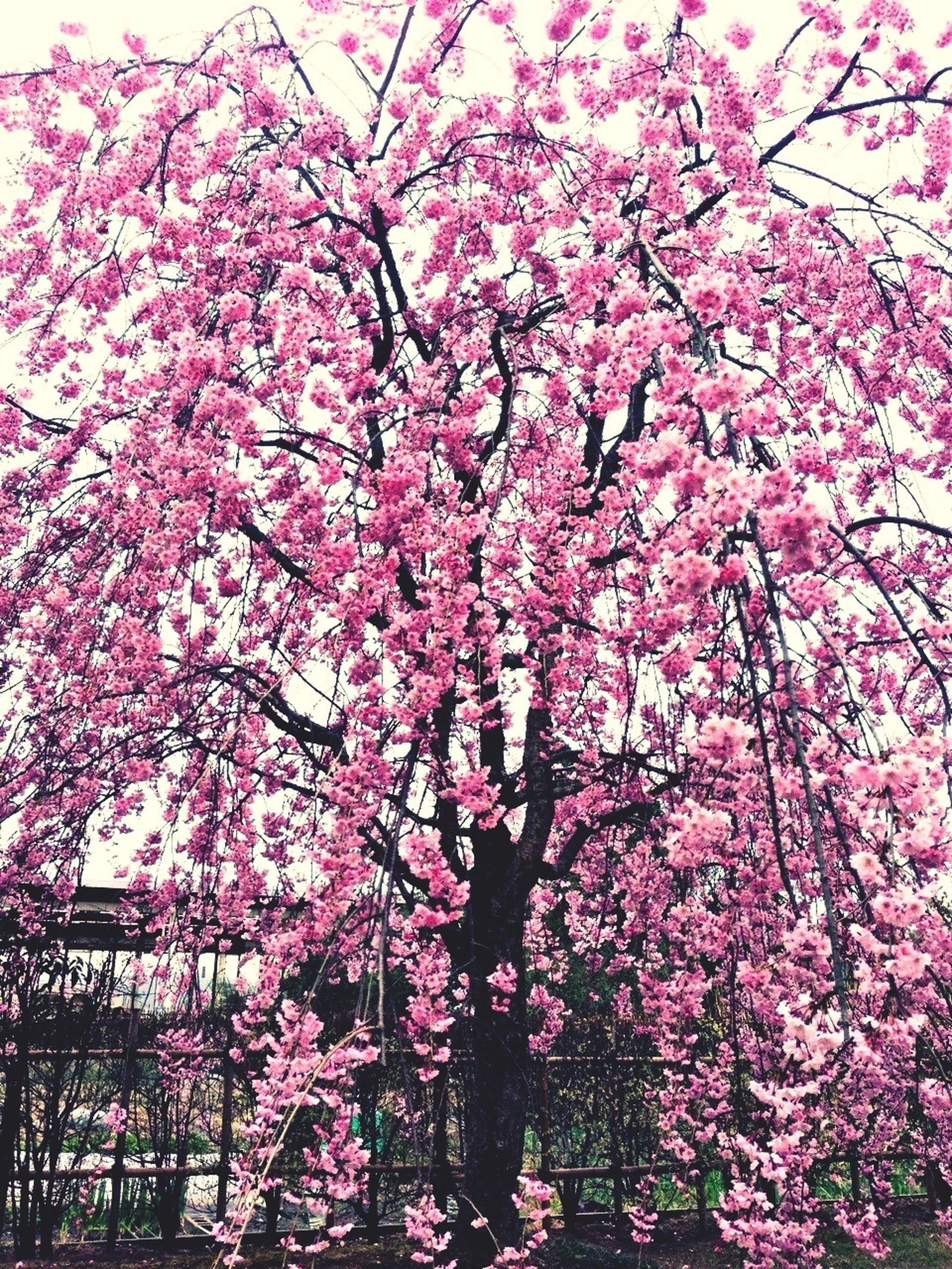 flower, tree, freshness, pink color, branch, growth, low angle view, beauty in nature, fragility, nature, cherry blossom, blossom, cherry tree, blooming, in bloom, pink, springtime, day, outdoors, clear sky