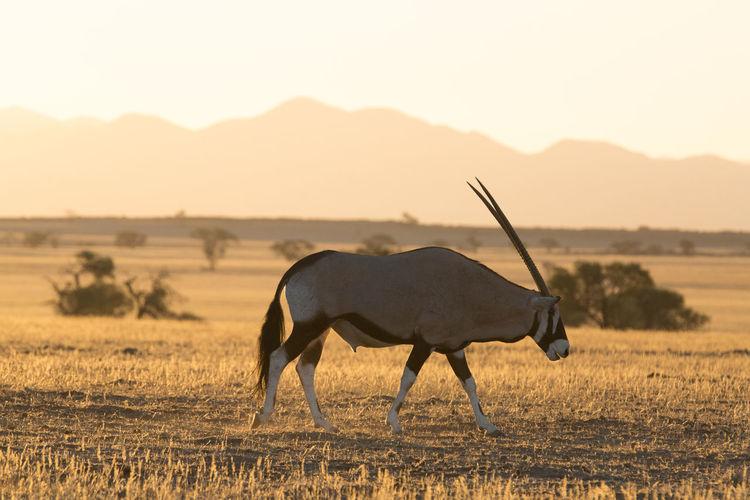 Side view of gemsbok on field against sky