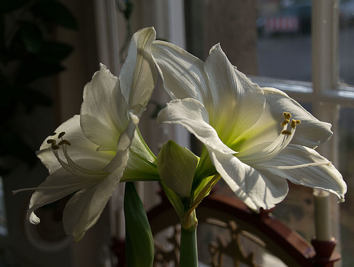 Close-up of white lily on plant